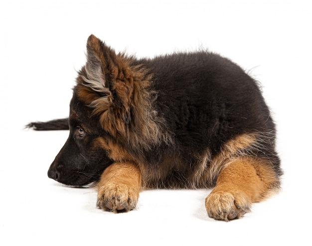 白い背景に分離されたジャーマンシェパードの子犬