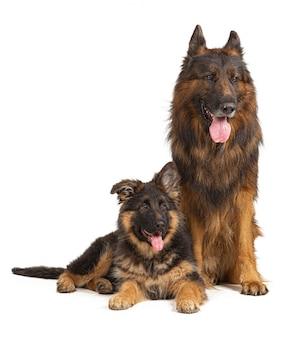 ジャーマン・シェパード犬、父と息子、分離