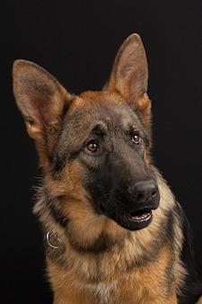 ジャーマン・シェパード犬の肖像画
