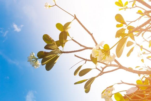 澄んだ青い空を背景フランジパニの木の枝