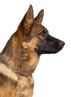 分離されたジャーマン・シェパード犬の肖像画