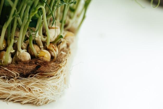 マイクロ緑の植物の根をクローズアップ