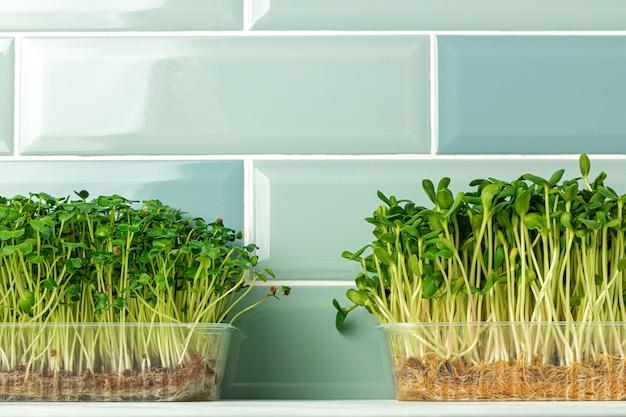 ミントタイル壁に対してキッチンのトレイで成長しているマイクロ緑もやし