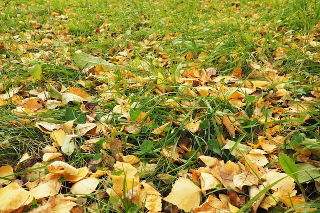 Желтая опавшая листва на зеленой траве. ранняя осень.