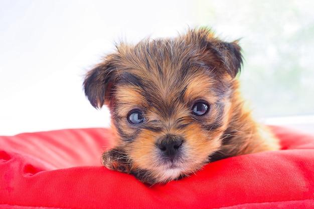 赤いマットレスにかわいい茶色の子犬