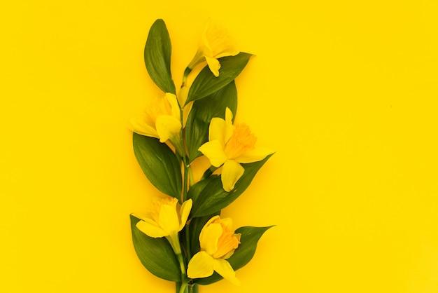黄色の背景に分離された新鮮な水仙