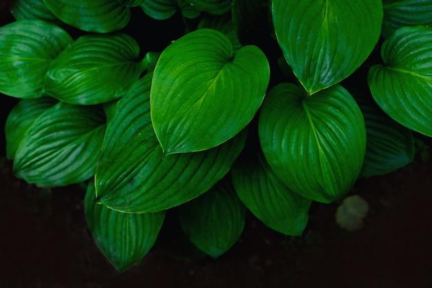 バジルの葉