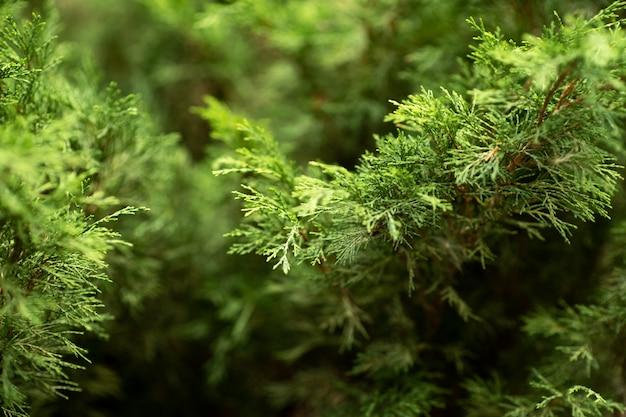 公園のジュニパーの茂み