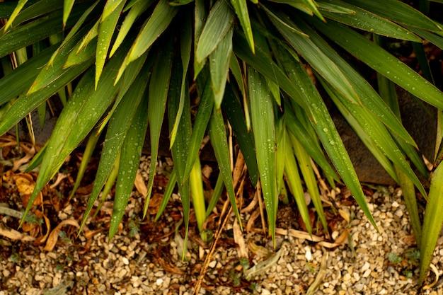 Зеленые листья растения монстера, растущего в дикой природе