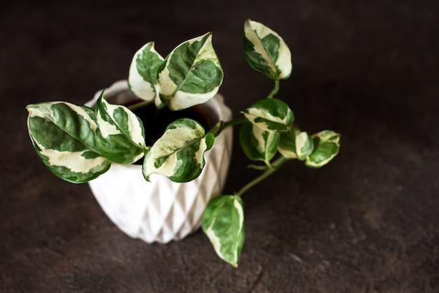 白い鉢の観葉植物