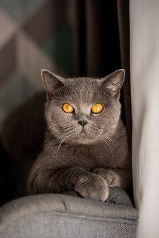 銅の目でかわいいイギリスのショートヘア猫