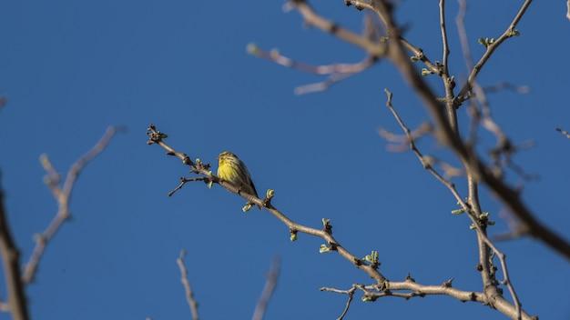 カナリアは、背景の青い空と木の枝に腰掛け