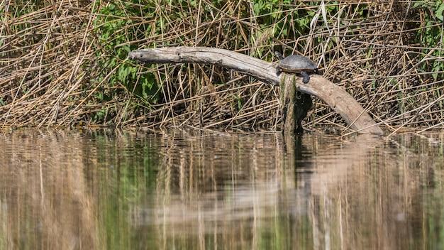 川で日光の下で野生のカメ
