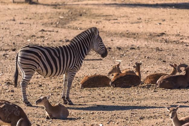 ゼブラはアフリカのカモシカのグループに囲まれて観察します