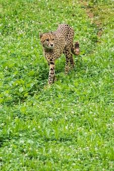 草の上の孤独な野生のチーター