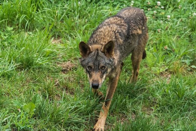 イベリアのオオカミは草の上を歩く