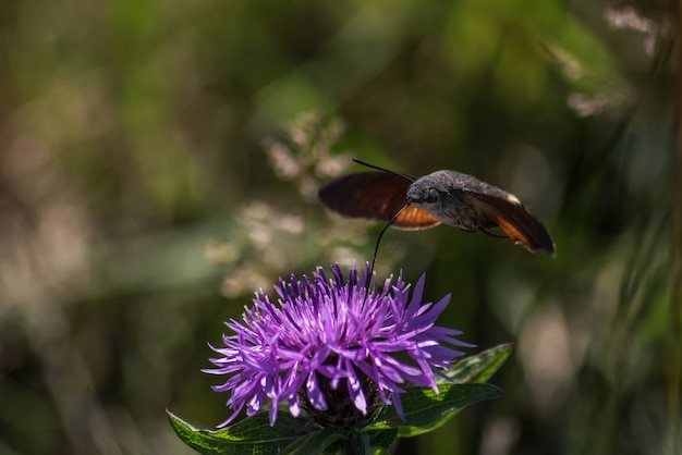 Колибри, впитывающая нектар цветка бабочки