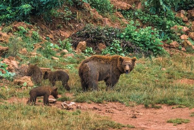 自然保護区のヒグマと子犬