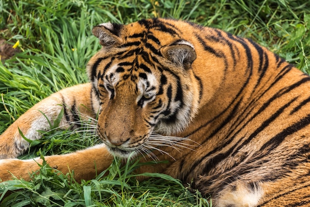 Тигр на зеленой траве