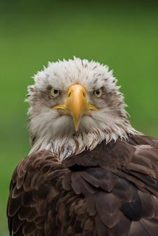 Портрет белоголового орлана