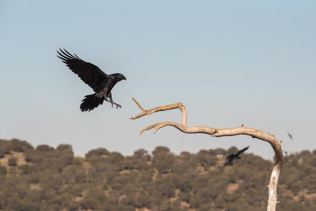 Дикая ворона в полете перед посадкой на ветке