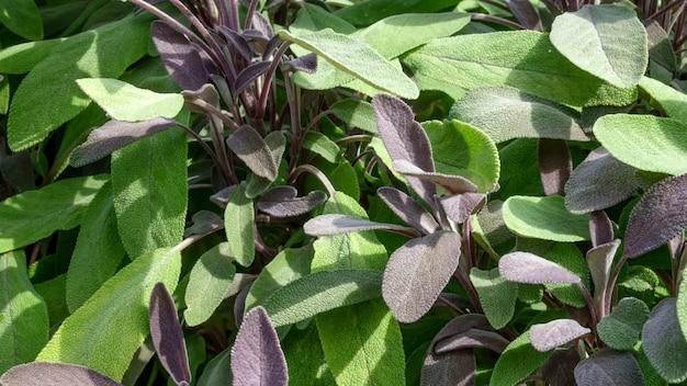 若い芽とセージの葉