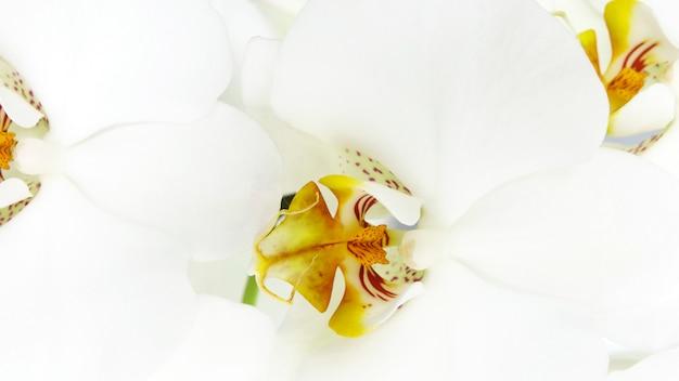 白い蘭の花のクローズアップ