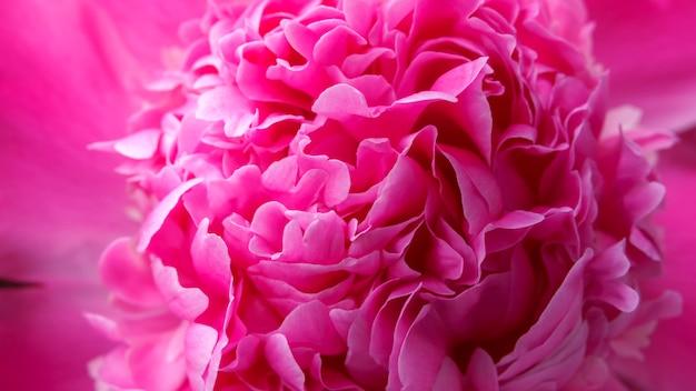 赤い牡丹の花のクローズアップ