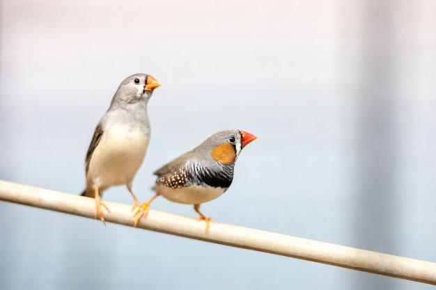 支店でのフィンチの鳥。素敵なカラフルな家庭用ペット。