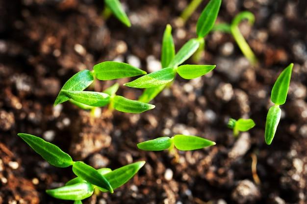 ホームファーム野菜の若い芽。庭や農場の苗ピーマンとトマト。