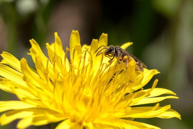 Пчела на желтом цветке одуванчика на цветени.