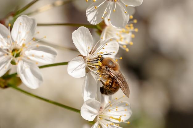 Пчела собирает мед на цветение вишни.