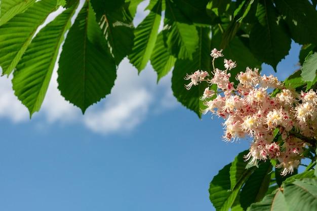 Ветвь каштана в цвету с предпосылкой голубого неба позади