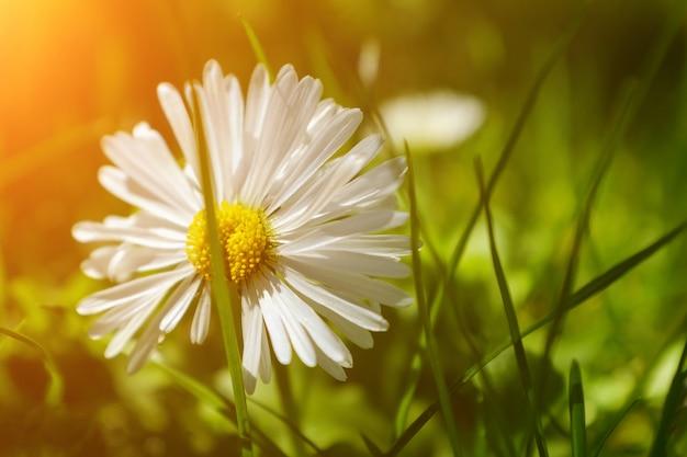 夏の風景。牧草地の美しいヒナギクと自然の夏。日光のカモミールの花
