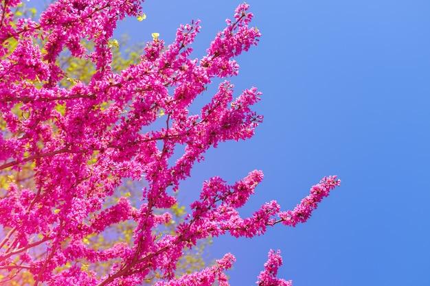 ピンクの桜の花が咲くタイ。