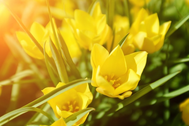 美しい黄色のチューリップと春のイースター。夏の花の背景