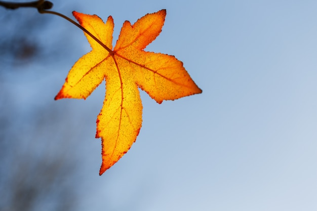 秋の葉、古いオレンジ色のカエデの葉、木の乾燥した葉、ソフトフォーカス、秋、自然の変化、明るく柔らかい日光