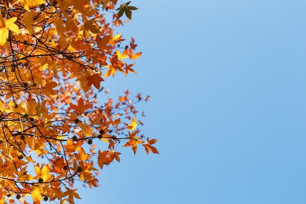 秋の紅葉、古いオレンジ色のカエデの葉、木の乾燥した葉、ソフトフォーカス、秋の季節、自然の変化、明るく柔らかい日光