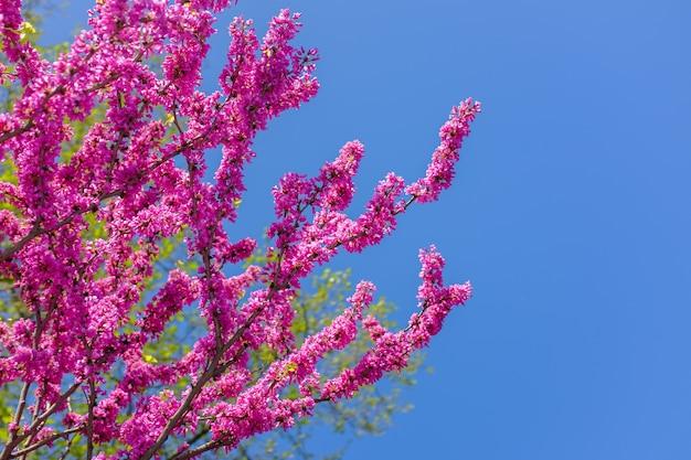 ピンクの桜の花が咲くタイ