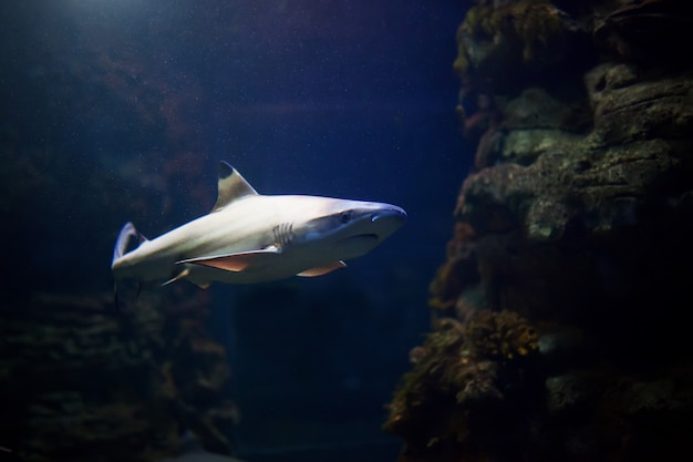 サンゴ礁の上を熱帯海域で泳ぐツマグロ