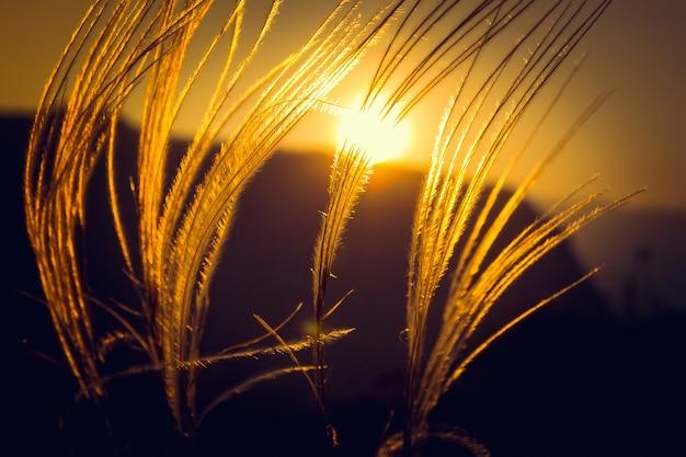日没のフィールドバックグラウンドで日没の草