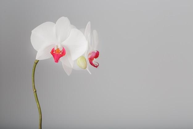 灰色、明るい背景に熱帯の白い蘭。空きスペース、コピースペース
