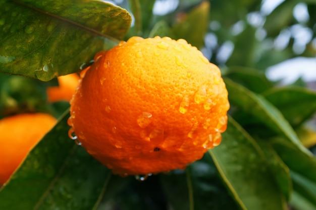 水分の滴と緑豊かな庭園の枝にジューシーな熟したタンジェリン。