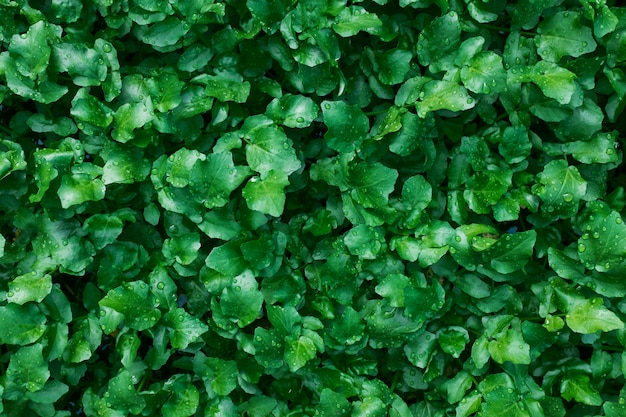 ジューシーで若い緑の植物のカーペット。フルスクリーンとして