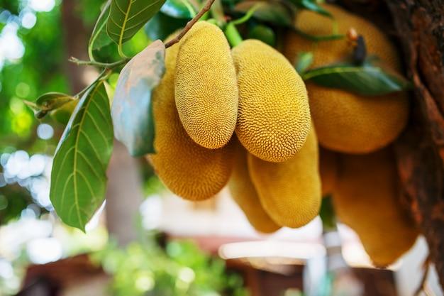 パラミツの大きな新鮮な果物が木に掛かっています。