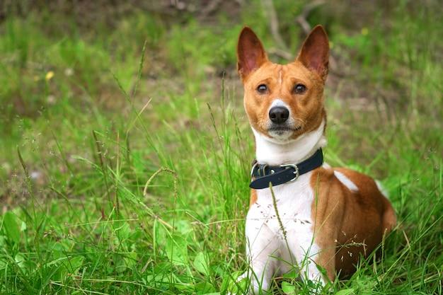 Басенджи собака на траве снаружи