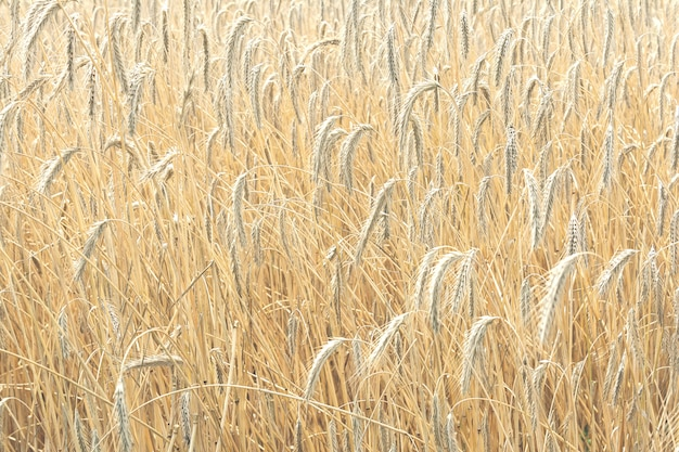 畑に生える黄金色の小麦の完熟小穂の眺め。農業、自然の概念。