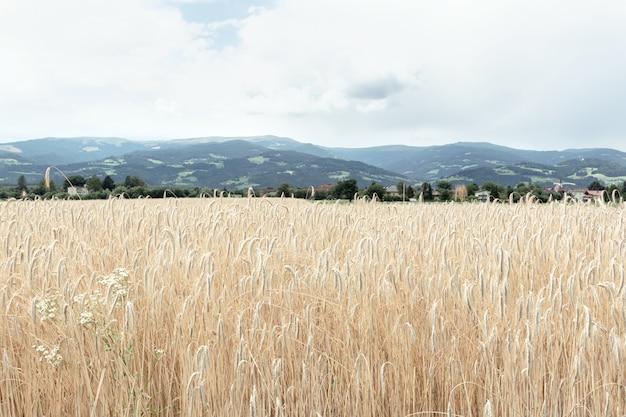 黄金の小麦の熟した小穂のフィールドのビュー。農業、自然の概念。