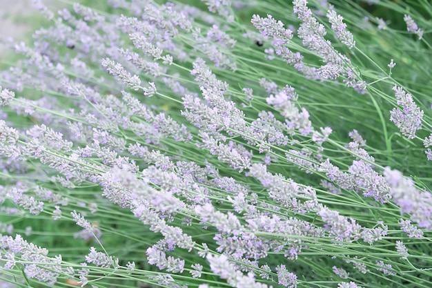 Вид лаванды нежных стеблей сиреневого цвета, которые расположены горизонтально. концепция цветов, сад, ландшафтный дизайн.