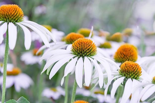Цветки эхинацеи белого цвета с оранжевым средним крупным планом. концепция праздника, растения, сад, ландшафтный дизайн